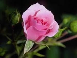Svetlo-ružové ruže sú znakom radosti a šťastia